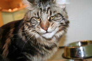 Характер и поведение кошек породы мейн-кун