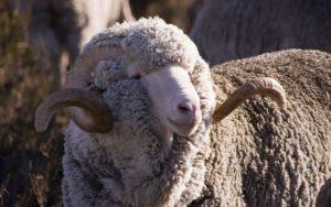 Как скрещивать овец? Выбор пород и скрещивания | Усадьба фермера