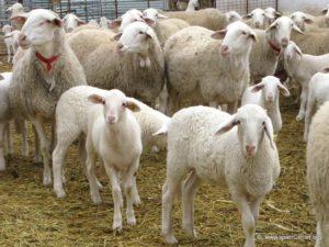 Молочная продуктивность пород овец