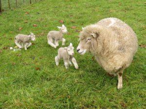 Уход за суягными овцами и родившимися ягнятами | Усадьба фермера