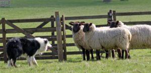 Условия содержания овец