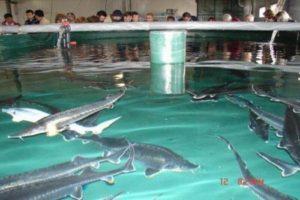 Как разводить рыбу в садках