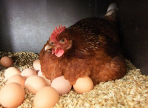 Какой породы куры лучшие наседки на яйцах? | Усадьба фермера