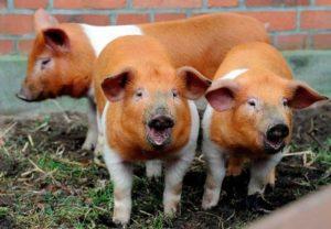 Малоизвестные факты о свиньях | Усадьба фермера