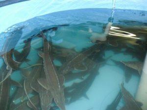 Способы разведения рыбы в домашних условиях | Усадьба фермера
