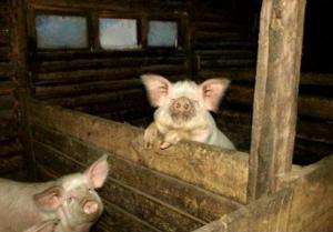 Жилище для свиней | Усадьба фермера