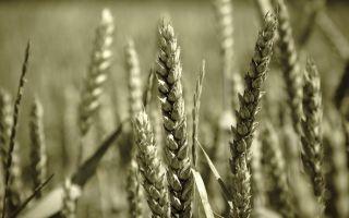 Зерно, поврежденное болезнями: головня, фузариоз, спорынья