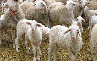 Молочная продуктивность некоторых пород овец