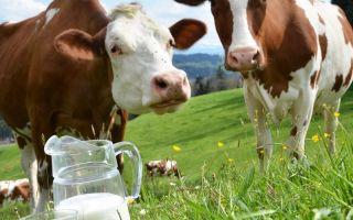 Сколько молозива дает корова?