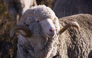 Как скрещивать овец?