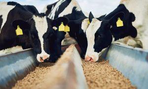Сколько дают комбикорма корове?