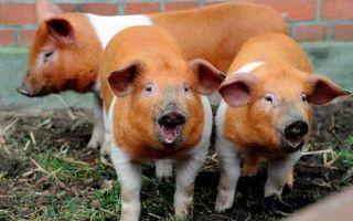 Малоизвестные факты о свиньях