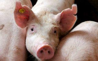 Особенности размножения свиней