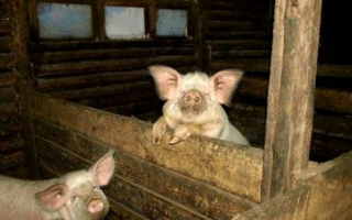 Жилище для свиней