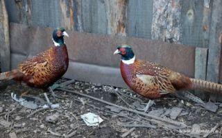 Происхождение и биологические особенности фазанов