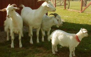Летнее содержание коз