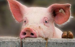 Правильный убой свиней