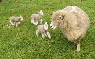 Уход за суягными овцами и родившимися ягнятами