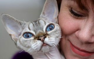 Гипоаллергенные кошки для аллергиков