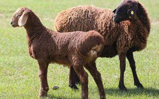 Курдючные породы овец