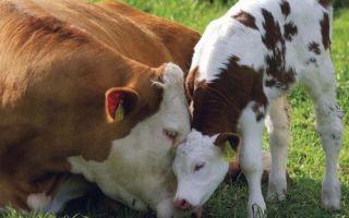 Сокращение затрат на содержание коров в стойловый период