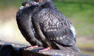 Как определить пол у голубей