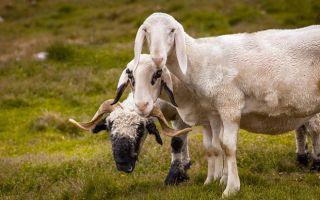Скрещивание длинноухих овец