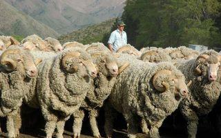 Лучшие породы тонкорунных овец