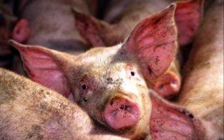 Заболевания домашних свиней и их профилактика