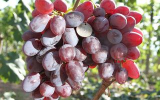 Способы хранения и транспортировки столового винограда