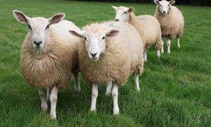 Способы содержания овец