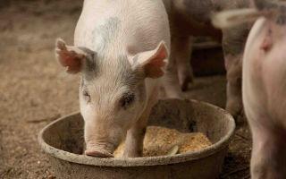 Рацион свиней