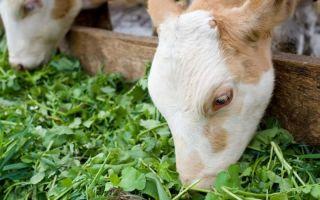 Сколько корова съедает травы?