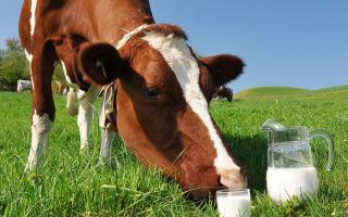 Почему у коровы горчит молоко?