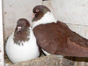 Инкубация яиц голубей