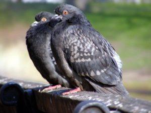 Как отличить голубя от голубки: способы   Усадьба фермера
