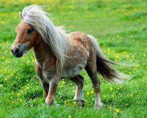 Пони – разведение и содержание