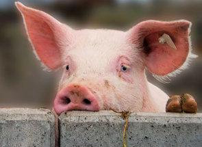 Правильный убой свиней | Усадьба фермера