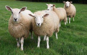 Технология, системы, способы содержания овец | Усадьба фермера