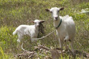 Как выбрать хорошую козу