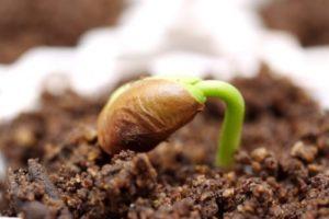 Подготовка семян к посеву и посадке в грунт | Усадьба фермера