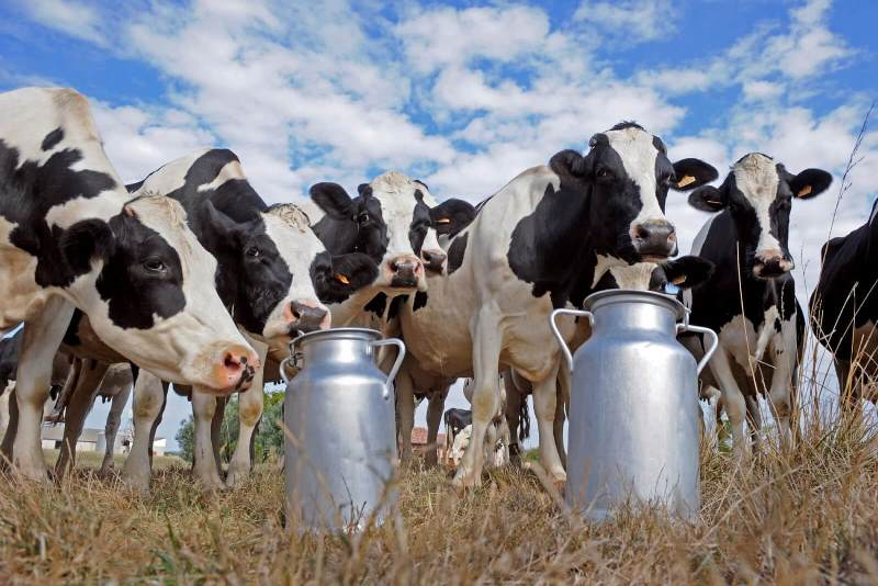Возраст коровы для молока