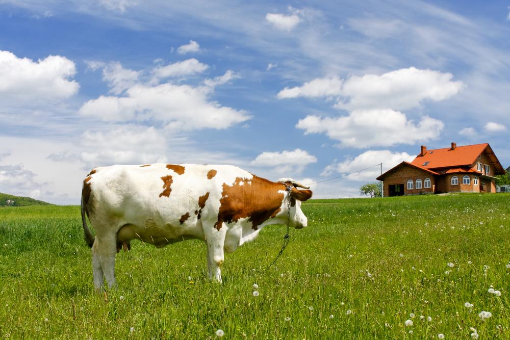 корова летом на лугу