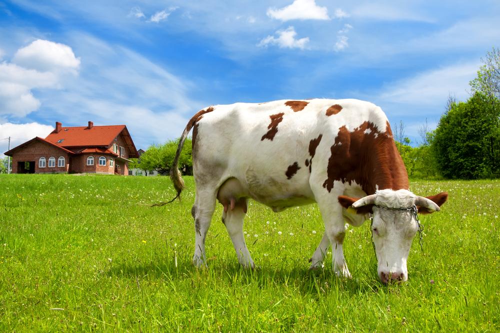 корова в поле ест траву