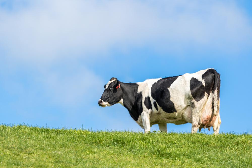 беременная корова гуляет