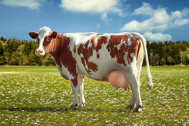 Как выбрать корову молочной породы