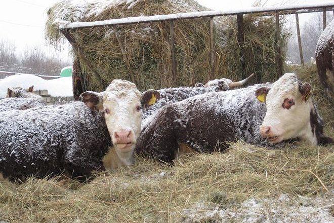 Зимнее содержание Герефордской породы коров