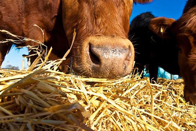 Питание коровы зимой