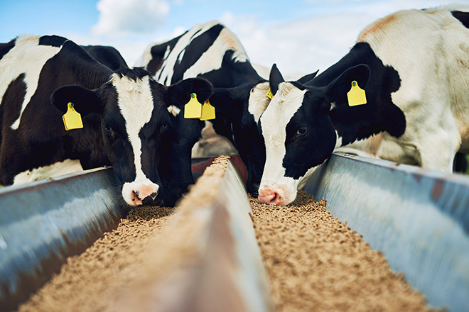 Питание коровы в период лактации