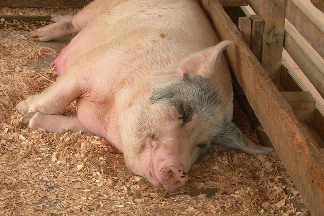 Свинья в родах
